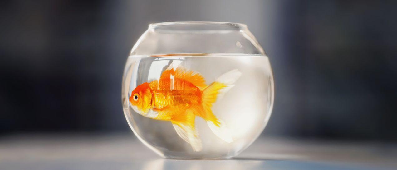 rybi-dieta - 5 nejšílenějších diet historie: Je libo hubnutí s tasemnicí nebo zlatou rybkou?